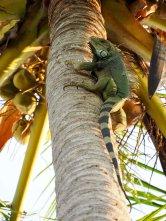 4 foot iguana climbs like a monkey