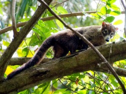 The Coati - somewhere between a racoon and and a cat
