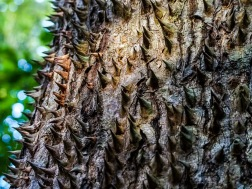 The Spiny Cedar, only found in Costa Rica