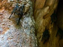 Found some jungle bats hiding inside a tree